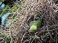 Myiopsitta monachus -Santiago, Chile -nest-8 (4).jpg