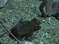 Myoprocta acouchy.001 - Faunia.JPG