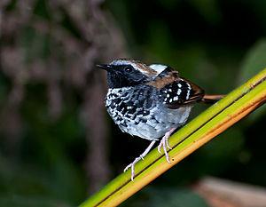 Squamate antbird - Image: Myrmeciza squamosa