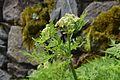 Myrrhis odorata in Jardin Botanique de l'Aubrac 02.jpg
