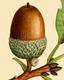 NAS-008f Quercus montana acorn.png