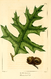 NAS-022f Quercus laevis.png