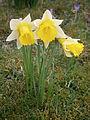 Narcissus pseudonarcissus005.jpg