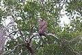 Necrosyrtes monachus Kruger NP.jpg