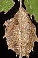 Neptis philyroides sonani (41156209390).jpg