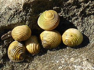 Cycloneritida Order of gastropods