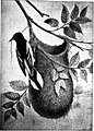 Nests and eggs of North American birds (1889) (20611983980).jpg