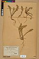 Neuchâtel Herbarium - Alyssum alyssoides - NEU000021943.jpg
