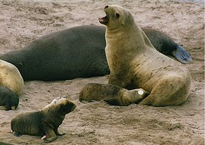 Enderby Island - A New Zealand sea lion nursing on the beach
