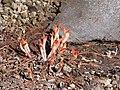 Newberry knotweed emerging near snow. (a8617cdd9aa64f17ad74012ff978f40f).JPG