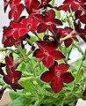 Nicotiana × sanderae (tytoń oskrzydlony).jpg