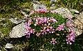 Niederes Felsenröschen (Loiseleuria procumbens), Nationalpark Hohe Tauern, Kärnten.jpg