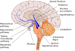 Is Vasopressin Whats Lacking In Brains >> Adipsia Wikipedia