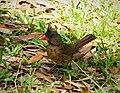 Northern Cardinal female Cardinalis cardinalis (26512855269).jpg