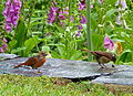 Northern cardinals (8208842611).jpg
