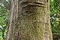 Nothofagus solandri in Wellington Botanical Garden (6).jpg