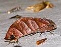 Notodontid Moth (Hapigia nodicornis) (26174945747).jpg