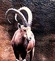 Nubian Ibex front.jpg