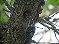Nuttall's Woodpecker, Feeding - Flickr - GregTheBusker.jpg