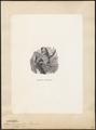 Nyctala funerea - 1700-1880 - Print - Iconographia Zoologica - Special Collections University of Amsterdam - UBA01 IZ18400219.tif