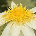 Nymphaea ampla-IMG 4581.jpg
