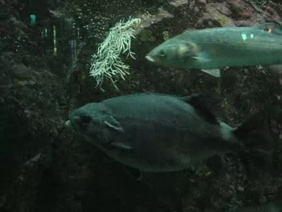 File:Océanopolis Big Fish.webm