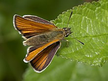 A skipper butterfly perched on a leaf and holding its wings apart from each other seen from above.