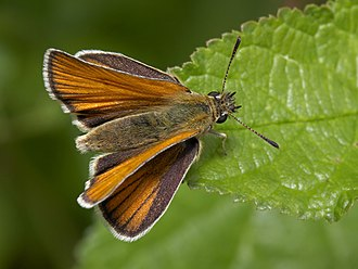 External morphology of Lepidoptera - Adult Essex skipper (Thymelicus lineola)