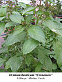 Ocimum basilicum cinnamon 1.jpg