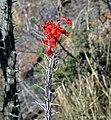 Ocotilla Fouquieria splendens (26308364208).jpg