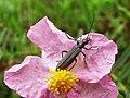 Oedemeridae - Oedemera (9119807493).jpg