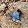 Oedipoda caerulescens. Acrididae. Oedipodinae - Flickr - gailhampshire.jpg