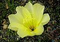 Oenothera odorata (8431543714).jpg
