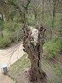 Old tree near Pomona temple - DSC05426 (6976264600).jpg