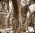 Oldest Cedar of Lebanon (4879016743).jpg
