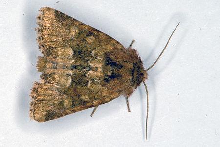 Oligia fasciuncula, Lodz(Poland)01(js).jpg