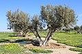 Olive - panoramio (3).jpg