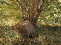 Onkapringa River NP echidna under an olive tree P1000598.jpg