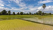 Opaque and mirroring green paddy fields with palm tree.jpg