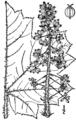 Oplopanax horridus BB-1913.png