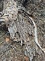 Opuntia sp. - Ground tissue IV.jpg