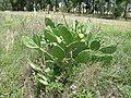 Opuntia stricta var stricta plant2 (14520252109).jpg