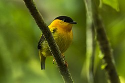 Orange-collared Manakin - Rio Tigre - Costa Rica MG 7859 (26651287556).jpg