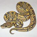 Orange Ghost (Hypomelanistic) Ball Python.jpg