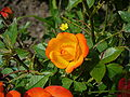 Orangerose3.jpg