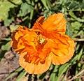 Oranje Papaver orientale. actm 01.jpg