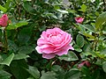 Orchid romance rose.jpg
