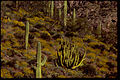 Organ Pipe Cactus National Monument ORPI4650.jpg