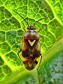 Orthops basalis (Miridae sp.), Elst (Gld), the Netherlands - 2.jpg