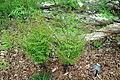 Osmunda regalis - Jenkins Arboretum - DSC00637.JPG
